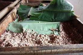 Kakaoböna jäsning
