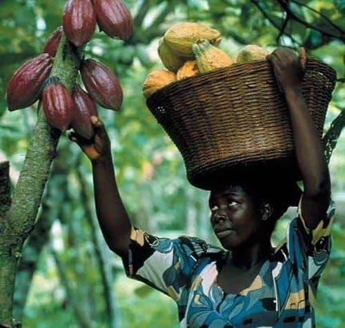 kakao bönanan skörd 1