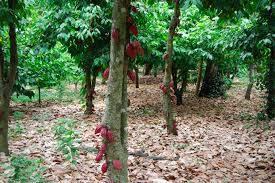 kakao bönanan skörd 3
