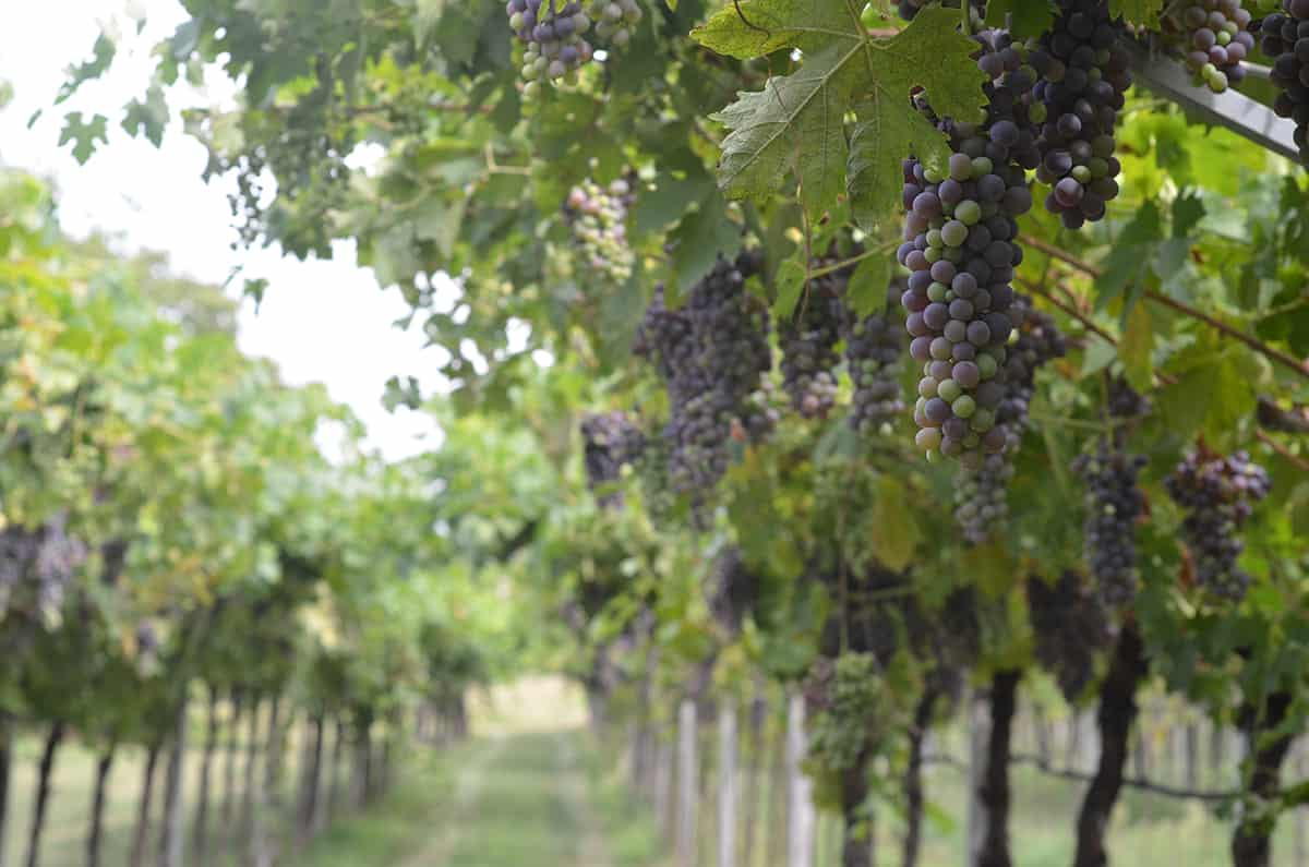 På en vingård i italien med vinrankor